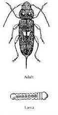 House Longhorn Beetle - the grub and the adult insect. It is a very fast eater!